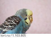 Попугай, зараженный клещом. Стоковое фото, фотограф ПАВЕЛ ЧУПРИНА / Фотобанк Лори