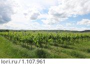 Купить «Виноградники Моравы», фото № 1107961, снято 7 июня 2009 г. (c) Наталия Таран / Фотобанк Лори