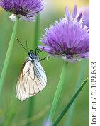 Бабочка-капустница. Стоковое фото, фотограф Ася Вострокнутова / Фотобанк Лори