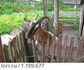 Купить «Коза в загоне», эксклюзивное фото № 1109677, снято 15 августа 2009 г. (c) Татьяна Юни / Фотобанк Лори
