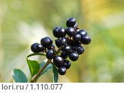 Купить «Плоды Бирючины обыкновенной (Ligustrum vulgare)», фото № 1110077, снято 16 сентября 2009 г. (c) Sergey Kohl / Фотобанк Лори