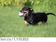 Собака на лужайке играет с мячиком. Стоковое фото, фотограф Иван Новиков / Фотобанк Лори