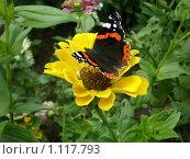 Бабочка на цветке. Стоковое фото, фотограф Светлана Брындина / Фотобанк Лори