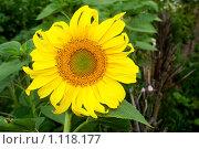 Купить «Подсолнух», фото № 1118177, снято 31 июля 2009 г. (c) Хайрятдинов Ринат / Фотобанк Лори