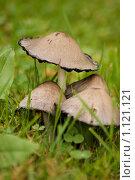 Купить «Несъедобные грибы», фото № 1121121, снято 27 сентября 2009 г. (c) Андрей Лабутин / Фотобанк Лори
