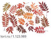Листья рябины. Стоковое фото, фотограф Руслан Кудрин / Фотобанк Лори