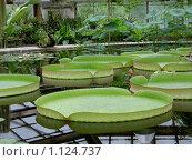 Ботанический сад. Виктория. Стоковое фото, фотограф Сотникова Екатерина / Фотобанк Лори