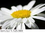 Купить «Макро ромашки», фото № 1125989, снято 19 августа 2006 г. (c) Роман Бородаев / Фотобанк Лори