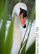 Купить «Белый лебедь», фото № 1127741, снято 23 апреля 2009 г. (c) hunta / Фотобанк Лори