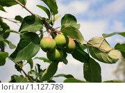 Яблоки на ветке. Стоковое фото, фотограф Толкачёв Евгений / Фотобанк Лори