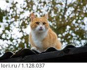 Рыжий кот на крыше. Стоковое фото, фотограф Чернышева Лариса / Фотобанк Лори