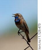 Купить «Варакушка, Bluethroat (Luscinia svecica)», фото № 1129473, снято 9 мая 2009 г. (c) Василий Вишневский / Фотобанк Лори
