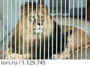 Купить «Лев», фото № 1129745, снято 17 сентября 2009 г. (c) Вера Тропынина / Фотобанк Лори
