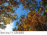 Купить «Ветки дуба с пожелтевшими листьями на фоне голубого неба», эксклюзивное фото № 1129893, снято 3 октября 2009 г. (c) lana1501 / Фотобанк Лори