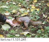Купить «Белки в московских парках едят прямо из рук», фото № 1131241, снято 4 октября 2009 г. (c) Наталья Волкова / Фотобанк Лори