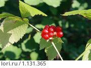 Купить «Ягода костяника. Rubus saxatilis», фото № 1131365, снято 18 августа 2009 г. (c) Григорий Писоцкий / Фотобанк Лори