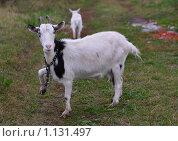 Купить «Коза с поднятой ногой», фото № 1131497, снято 26 сентября 2009 г. (c) Наталья / Фотобанк Лори