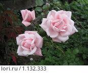 Три розы. Стоковое фото, фотограф Анатолий Сверчков / Фотобанк Лори