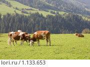 Австрия. Коровы. (2009 год). Стоковое фото, фотограф Валерий Ситников / Фотобанк Лори