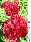 Купить «Алые махровые пионы, освещенные солнцем», фото № 1138141, снято 12 июня 2009 г. (c) Александр Федоренко / Фотобанк Лори