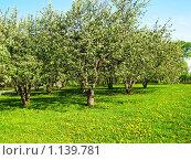 Купить «Цветущие яблони на лугу с жёлтыми одуванчиками (парк Коломенское, Москва)», фото № 1139781, снято 19 мая 2008 г. (c) ИВА Афонская / Фотобанк Лори