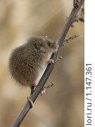 Мышь-малютка. Стоковое фото, фотограф Ольга Натальская / Фотобанк Лори