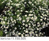 Пиретрум девичий (pyrethrum),  сем. Сложноцветные, фото № 1150505, снято 29 июня 2009 г. (c) Заноза-Ру / Фотобанк Лори