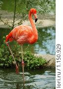 Купить «Красный фламинго», фото № 1150929, снято 18 июня 2019 г. (c) Stockphoto / Фотобанк Лори
