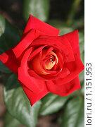 Роза. Стоковое фото, фотограф Natalisha / Фотобанк Лори