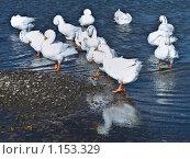 Купить «Белые меченые гуси на реке», фото № 1153329, снято 11 октября 2009 г. (c) Усова Светлана  Юрьевна / Фотобанк Лори