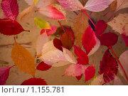 Листья дикого винограда осенью. Стоковое фото, фотограф Елена Тимошенко / Фотобанк Лори