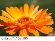 Цветок календулы. Стоковое фото, фотограф Верстова Арина / Фотобанк Лори