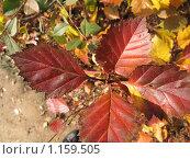 Красные листья. Стоковое фото, фотограф Анатолий Сверчков / Фотобанк Лори