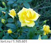 Желтая роза. Стоковое фото, фотограф Окунева Светлана / Фотобанк Лори