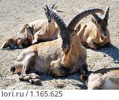 Критский бородатый или безоаровый козёл. Стоковое фото, фотограф Александр Виноградов / Фотобанк Лори