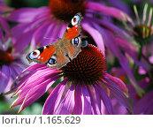 Бабочка на цветке. Стоковое фото, фотограф Александр Виноградов / Фотобанк Лори