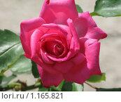 Красная роза. Стоковое фото, фотограф Алина Бучинская / Фотобанк Лори