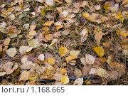 Купить «Осенний ковер из листьев и хвои», фото № 1168665, снято 17 октября 2009 г. (c) Куликова Вероника / Фотобанк Лори