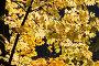 Осенний клен, фото № 1170657, снято 18 октября 2009 г. (c) Сергей Лаврентьев / Фотобанк Лори