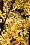 Осенний клен, фото № 1170665, снято 18 октября 2009 г. (c) Сергей Лаврентьев / Фотобанк Лори