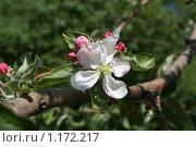 Ветка яблони с цветком. Стоковое фото, фотограф Татьяна Кирилова / Фотобанк Лори