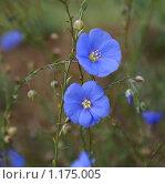 Лен многолетний ( Linum perenne ) голубой. Стоковое фото, фотограф Титова Елена / Фотобанк Лори