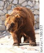 Бурый медведь. Стоковое фото, фотограф Алексей Вялов / Фотобанк Лори