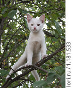 Белый котенок на дереве. Стоковое фото, фотограф Ольга Зарубина / Фотобанк Лори