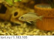 Купить «Цихлида (самка) аулонакара корнелли - редкая аквариумная рыбка», фото № 1183105, снято 14 июля 2009 г. (c) Erudit / Фотобанк Лори