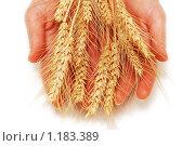 Купить «Руки держат колосья пшеницы», фото № 1183389, снято 4 февраля 2007 г. (c) Elnur / Фотобанк Лори