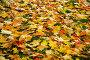 Опавшие кленовые листья на траве, эксклюзивное фото № 1185233, снято 6 октября 2008 г. (c) Алёшина Оксана / Фотобанк Лори