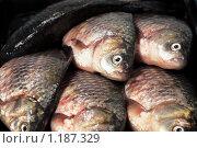 Купить «Речная рыба карась ( семейство карповых)», фото № 1187329, снято 23 октября 2009 г. (c) ElenArt / Фотобанк Лори