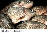 Купить «Речная рыба карась ( семейство карповых)», фото № 1187341, снято 23 октября 2009 г. (c) ElenArt / Фотобанк Лори