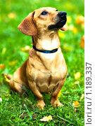 Купить «Забавный щенок таксы сидит на зеленой траве», фото № 1189337, снято 4 октября 2009 г. (c) Бабенко Денис Юрьевич / Фотобанк Лори